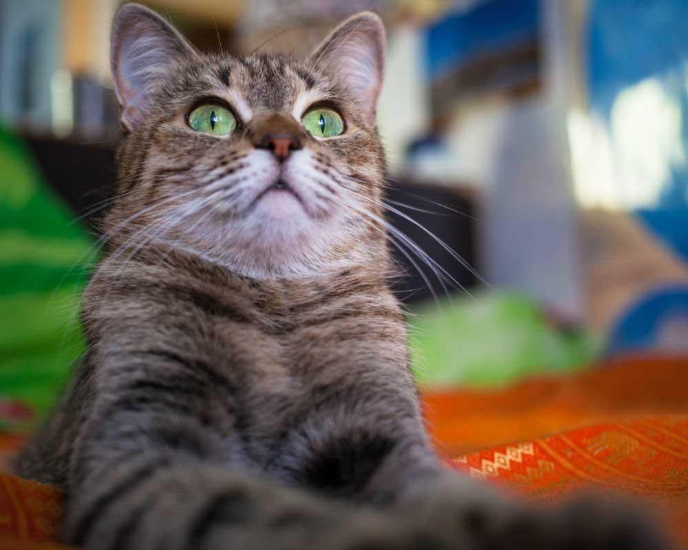 opadanje dlake kod mačaka