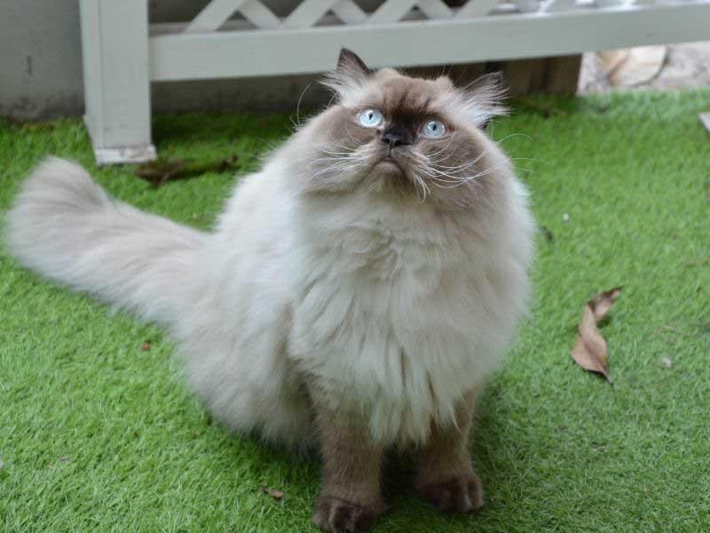 himalajska mačka cena
