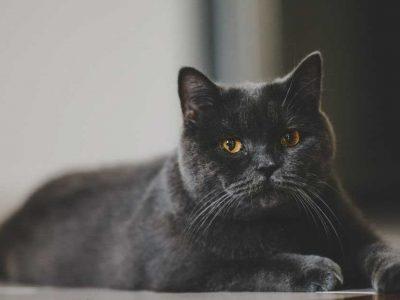 životni vek mačke