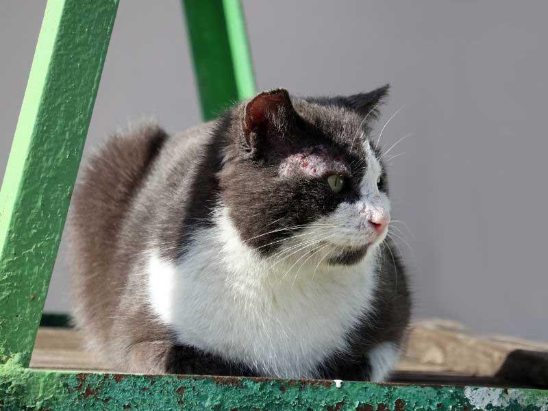 šuga kod mačaka lečenje