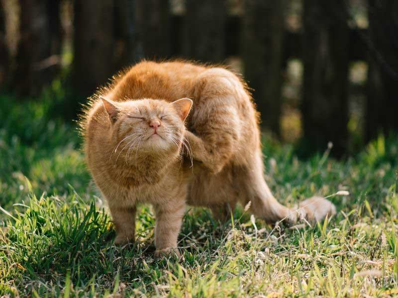 šuga kod mačaka simptomi
