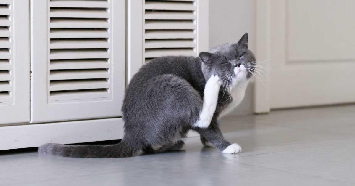 šuga kod mačaka