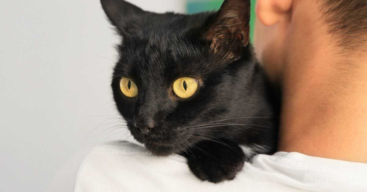 bombajska crna mačka