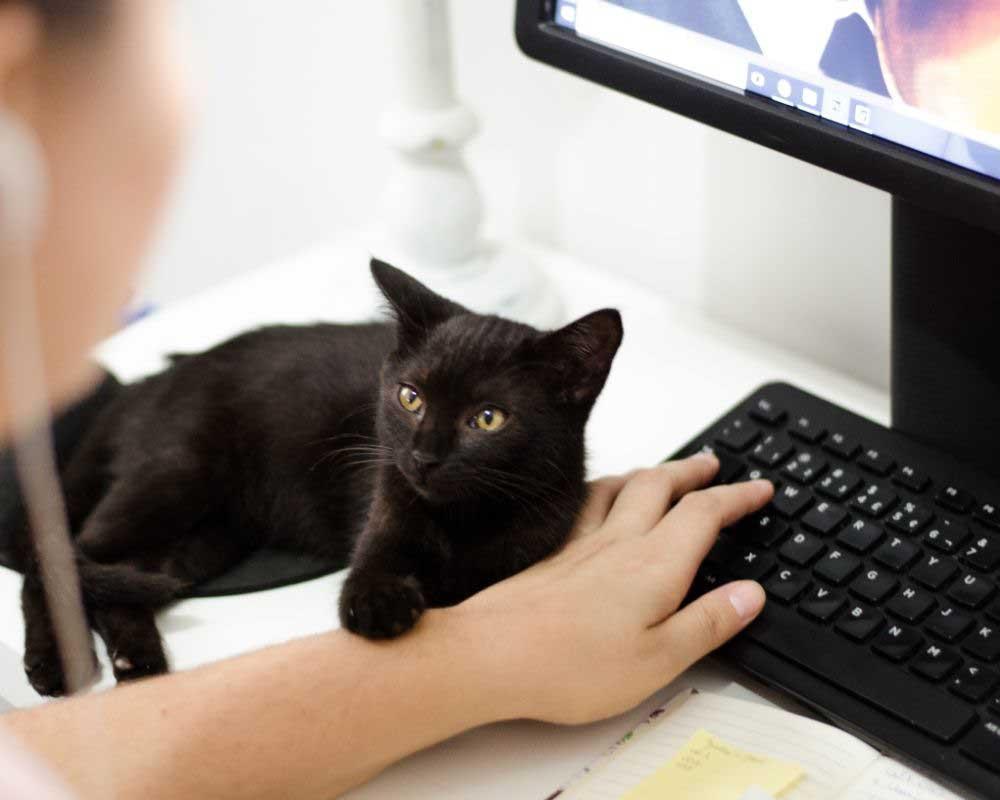 bombajska crna mačka karakteristike