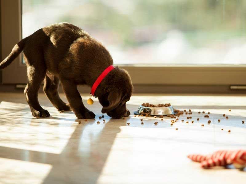 hranjenje štenaca bez majke