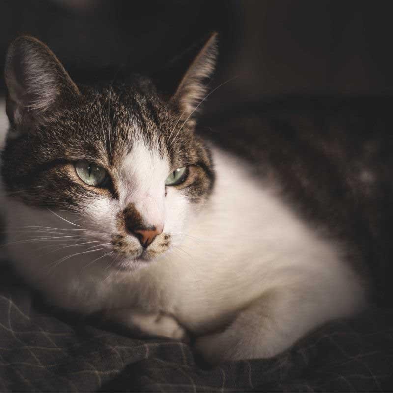kožne bolesti mačaka simptomi