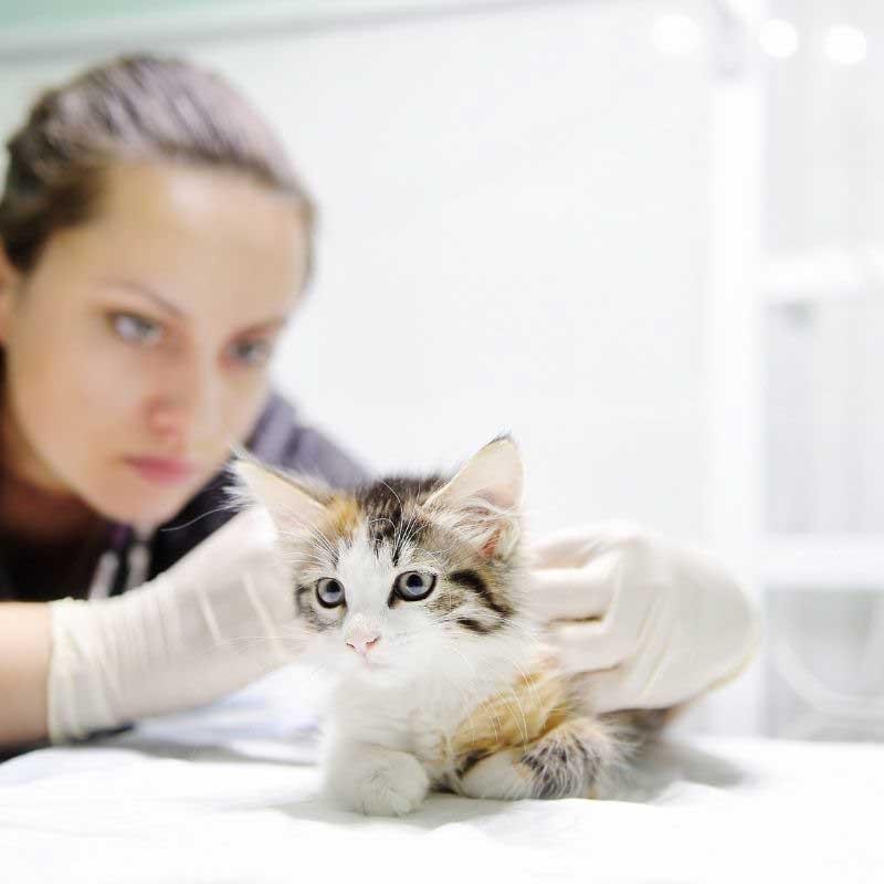 čipovanje mačaka cena