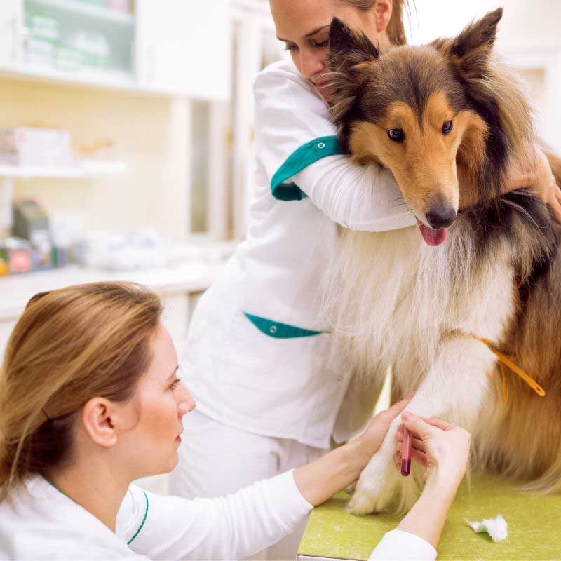 bolesti pasa od krpelja