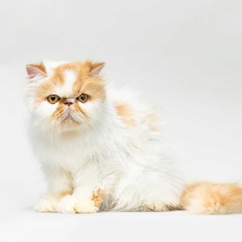 persijska mačka cena