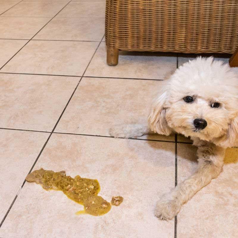 pas povraća žuto