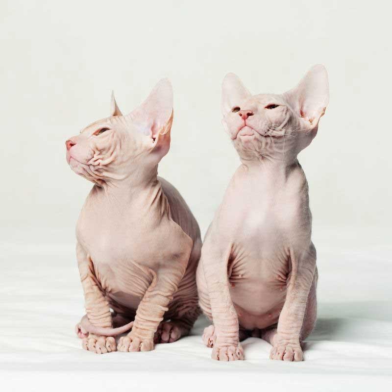 sfinks mačka cena