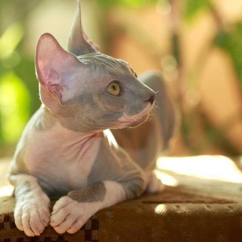 sfinks mačka zdravlje