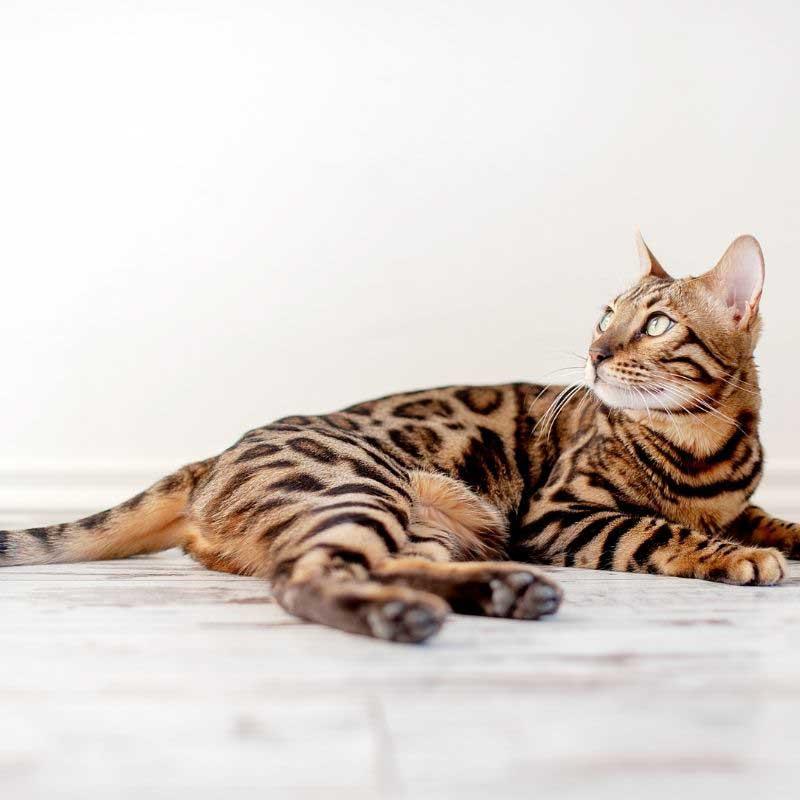 rase mačaka za stan