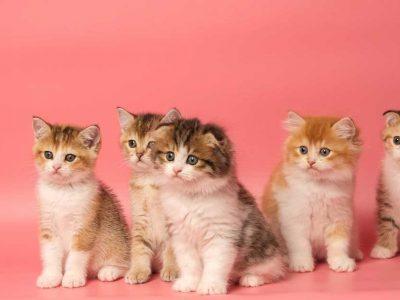 rase mačaka