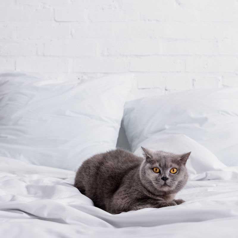 najskuplje rase mačaka