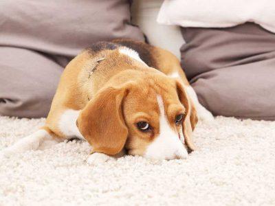 alergije kod pasa