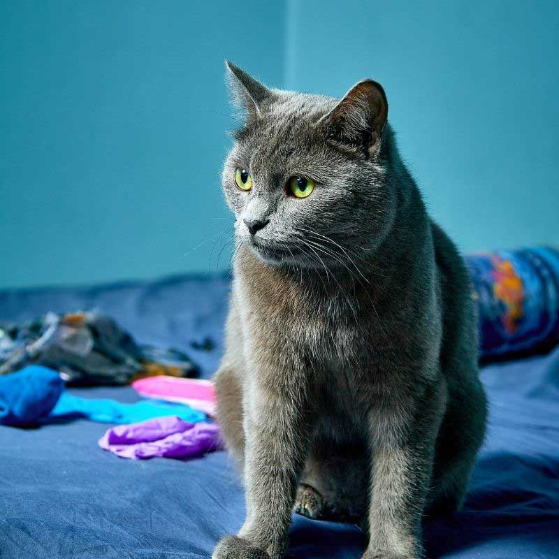 ruska mačka