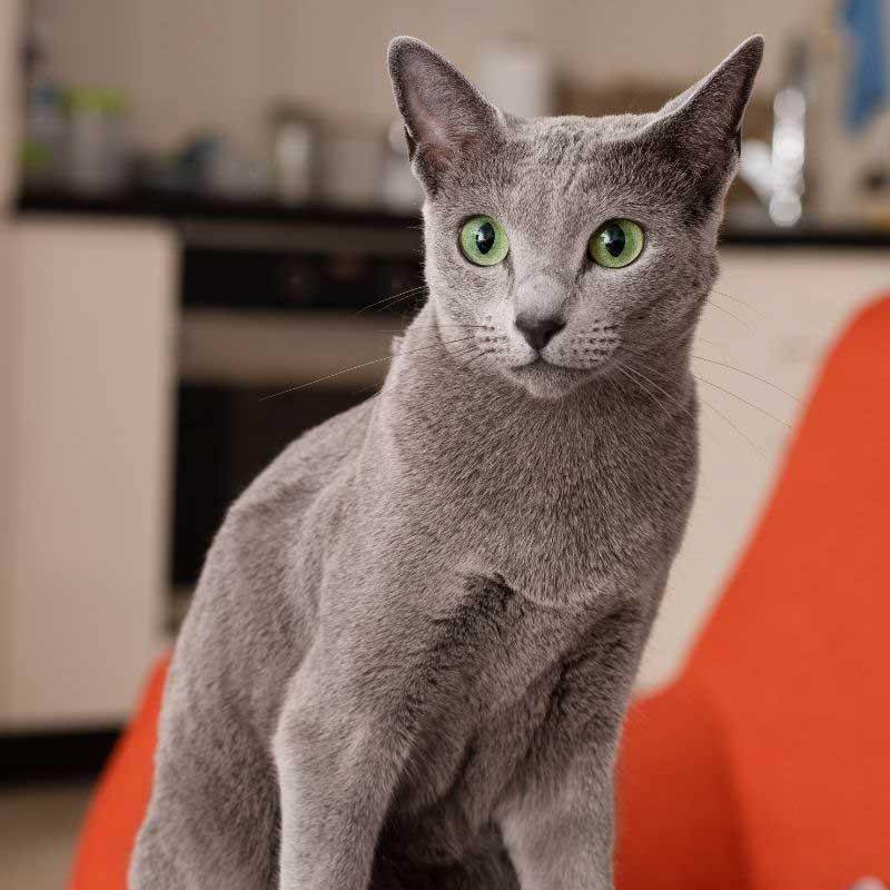 ruska plava mačka cena