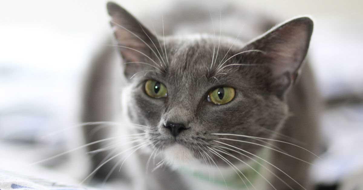 kašalj kod mačaka