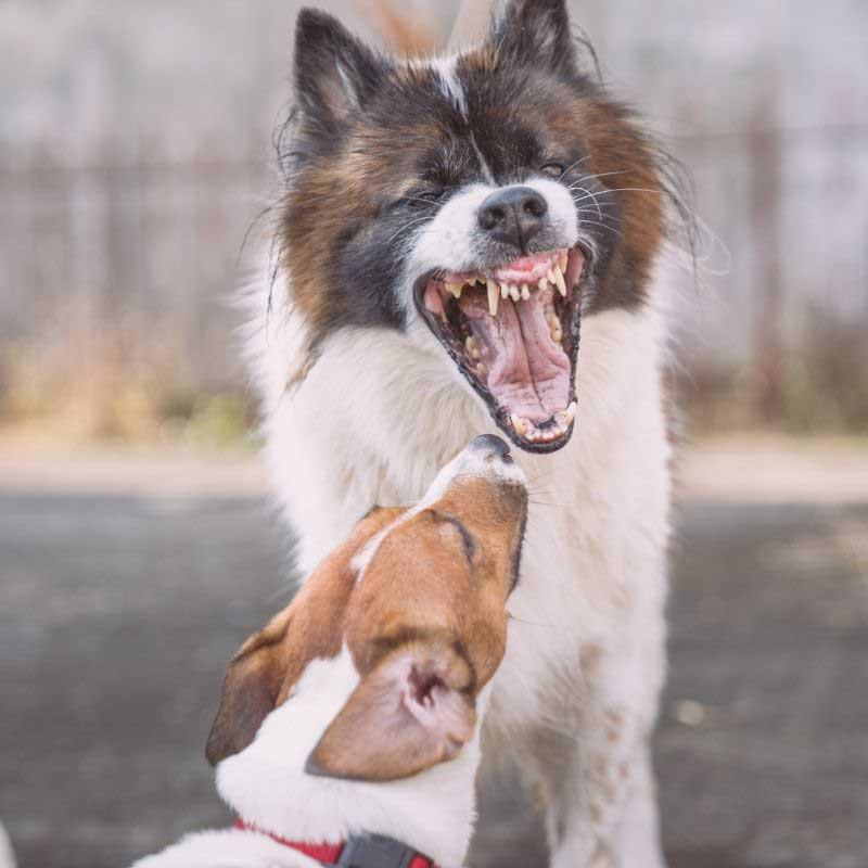 agresivnost kod pasa lečenje