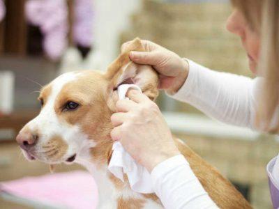 čišćenje ušiju kod pasa
