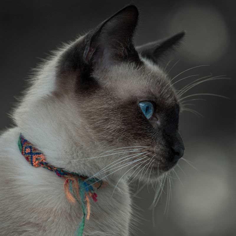 sijamska mačka cena