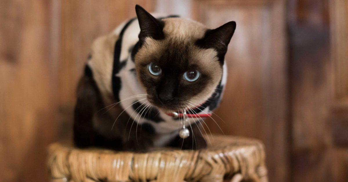 sijamska mačka