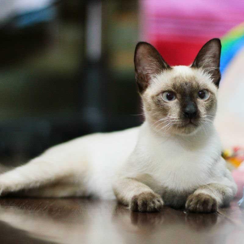 sijamska mačka ishrana