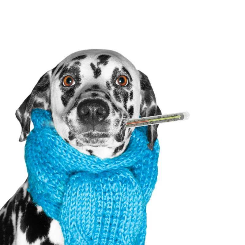 kako skinuti temperaturu kod pasa
