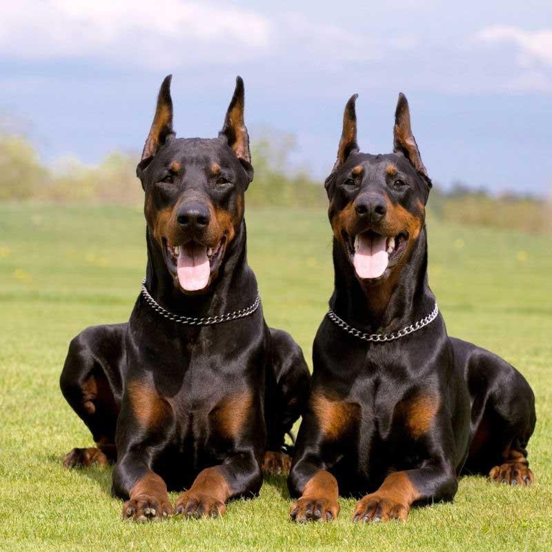 nemačke rase pasa doberman