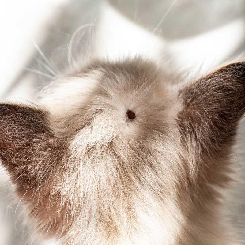 vrste krpelja kod mačaka