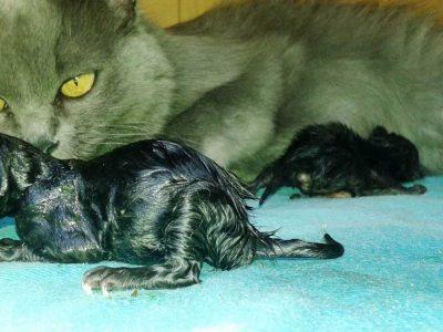koliko mačka nosi mačiće