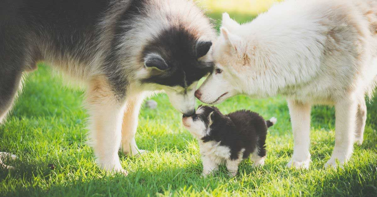 odvajanje štenaca od majke