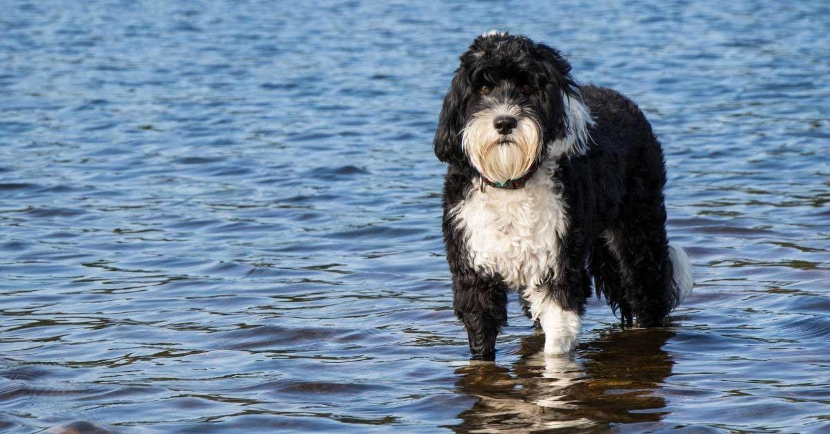 portugalski vodeni pas