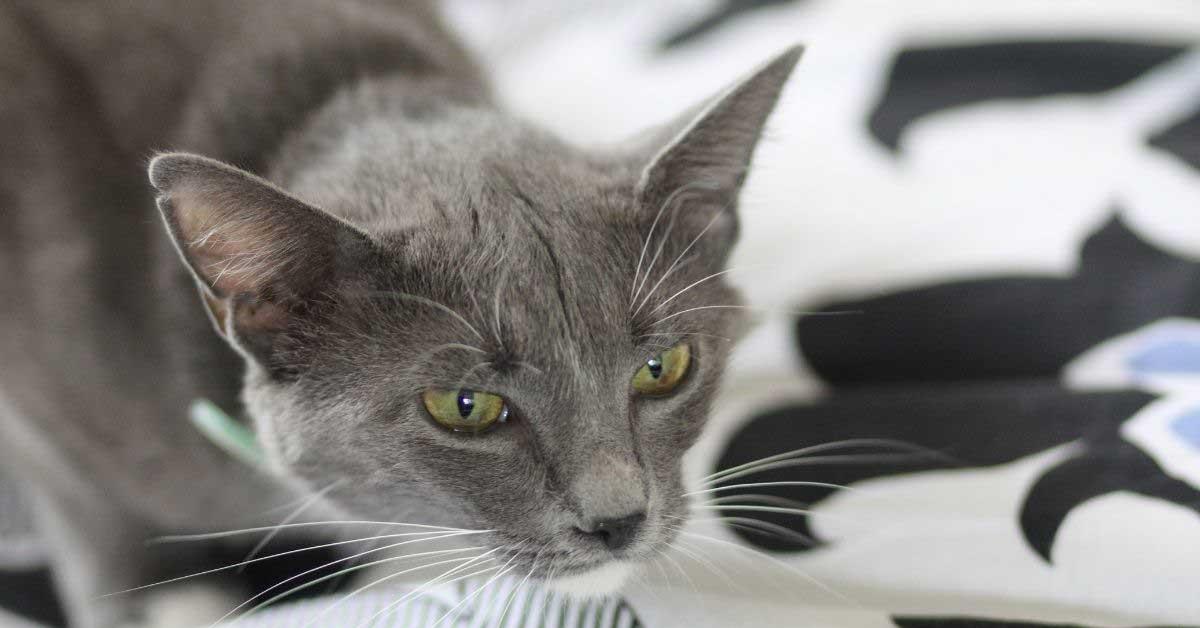 bronhitis kod mačaka