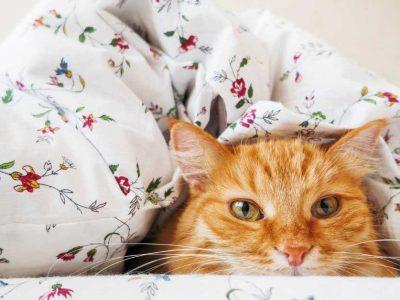 upala bubrega kod mačaka