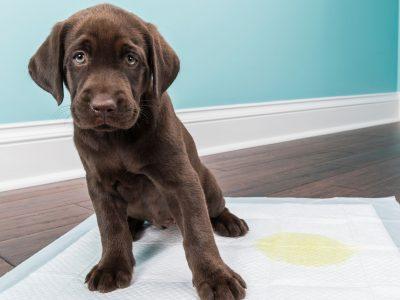 zašto štene često mokri