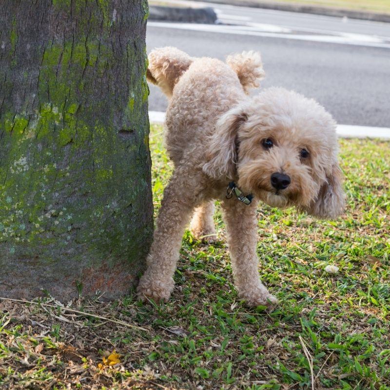 štene često mokri uzrok